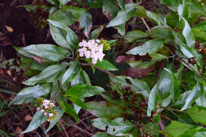 Stevia lucida Lag. –Asteraceae