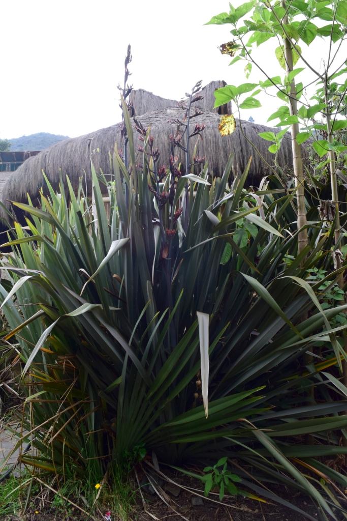 Phormium tenax -  Xanthorrhoeaceae