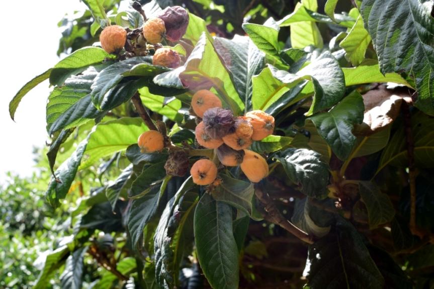 Eriobotrya japonica - Rosaceae