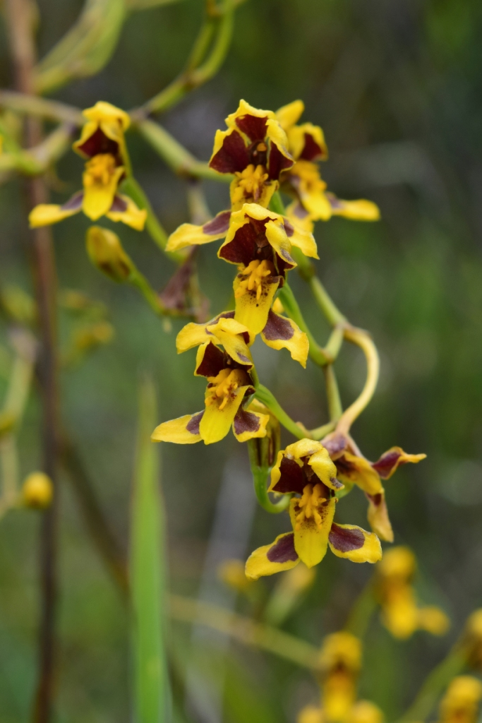 Cyrtochilum densiflorum –Orchidaceae