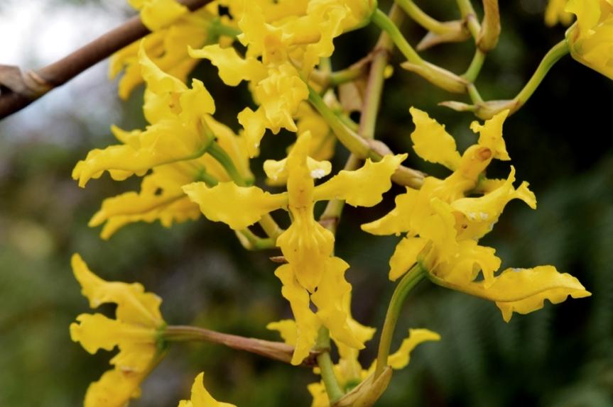 Cyrtochilum revolutum –Orchidaceae