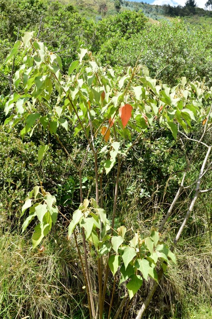 Croton coriaceus - Euphorbiaceae