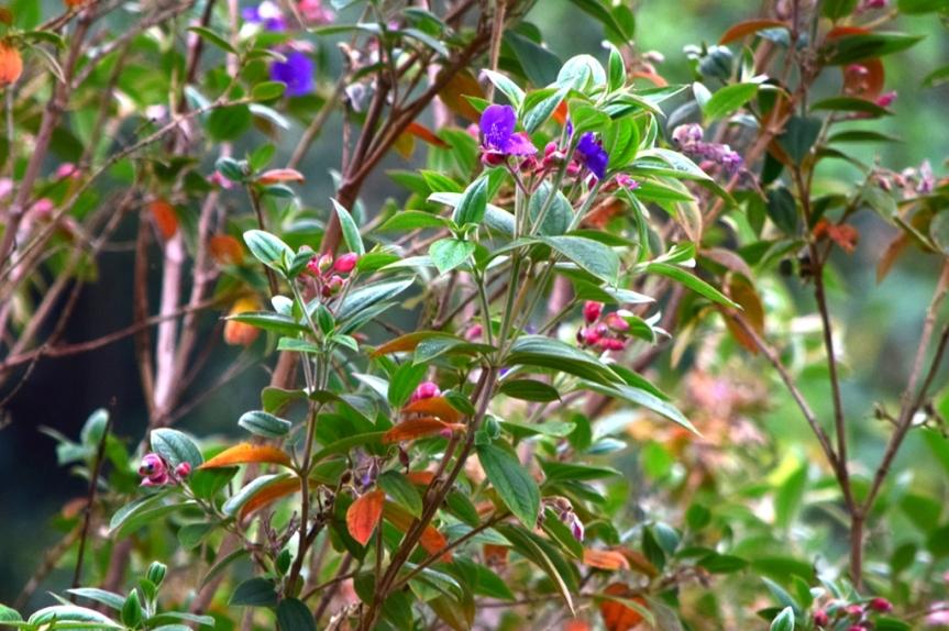 Tibouchina urvilleana - Melastomataceae
