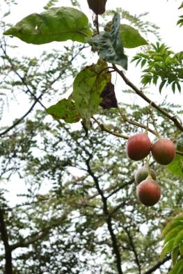 Solanum betaceum - Solanaceae