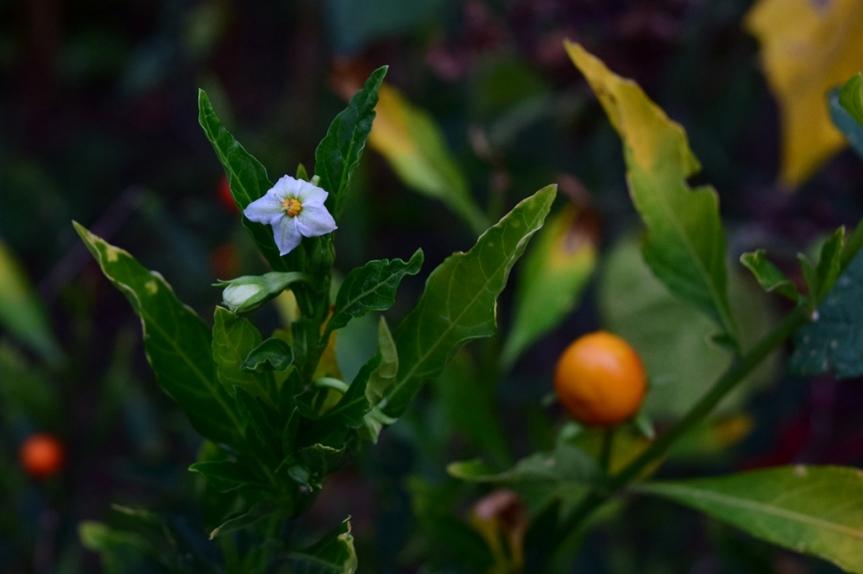 Solanum pseudocapsicum - Solanaceae