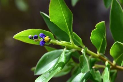 Monnina salicifolia - Polygalaceae