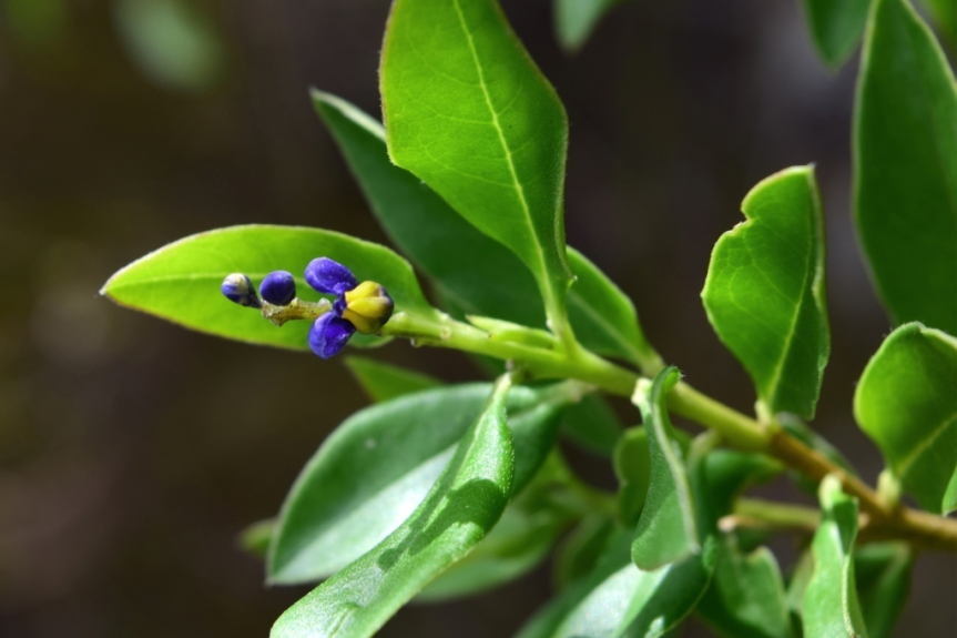 Monnina salicifolia –Polygalaceae