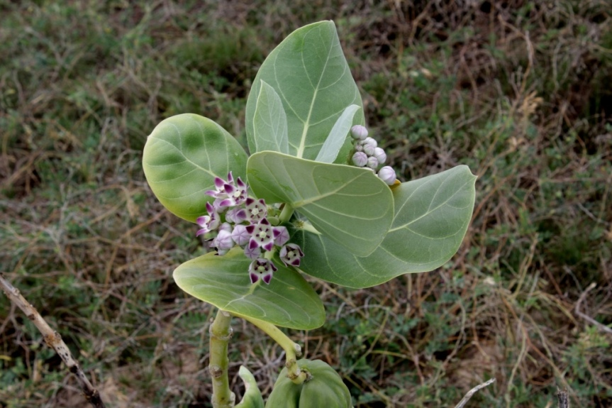 Calotropis procera (Aiton) Dryand. - Apocynaceae