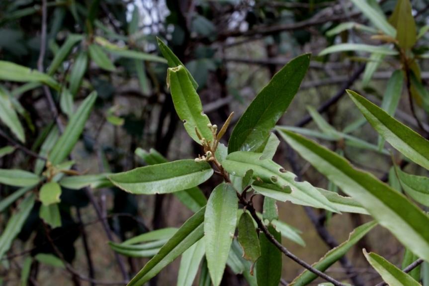 Quadrella ferruginea (L.) Iltis & Cornejo - Capparaceae