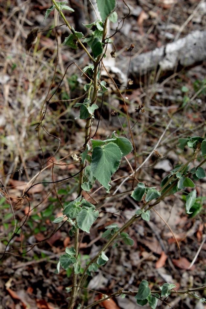 Herissantia crispa (L.) Briz. - Malvaceae