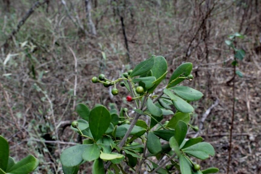 Jacquinia armillaris Jacq. - Primulaceae