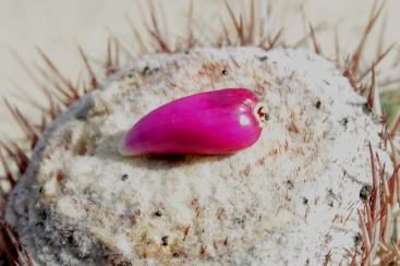 Melocactus curvispinus Pfeiff. - Cactaceae