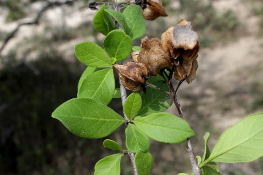 Bourreria cumanensis (Loefl.) O. E. Schulz - Boraginaceae