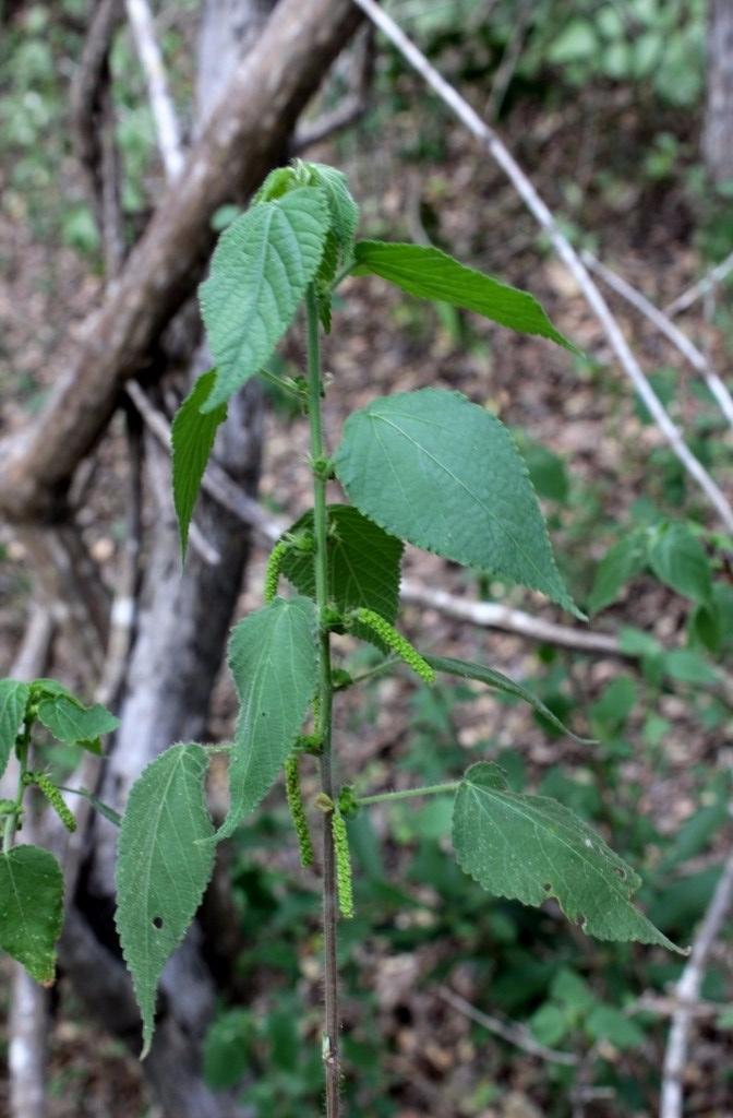 Acalypha cuspidata Jacq. - Euphorbiaceae