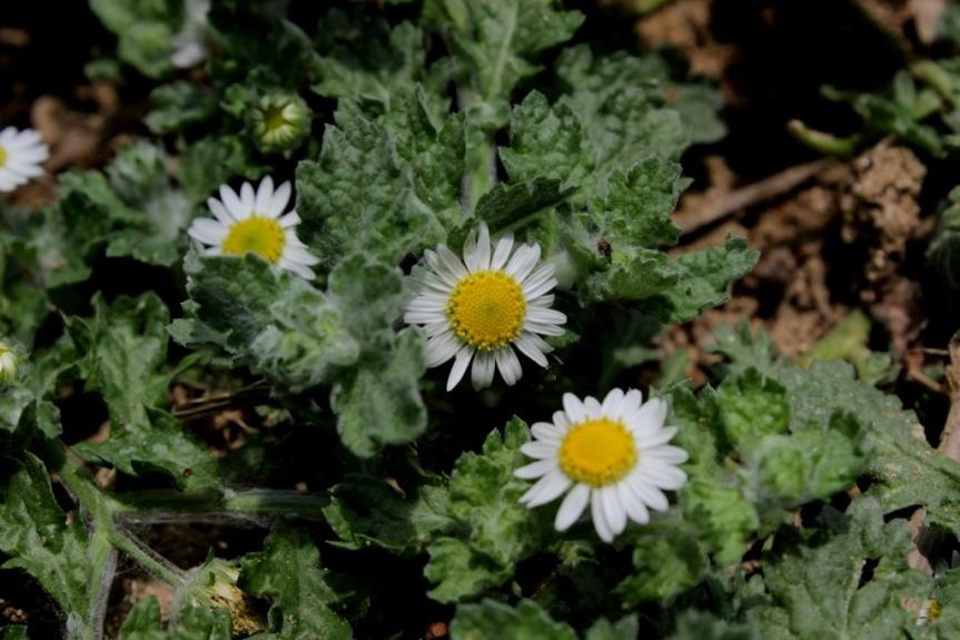 Egletes prostrata (Sw.) Kuntze - Asteraceae