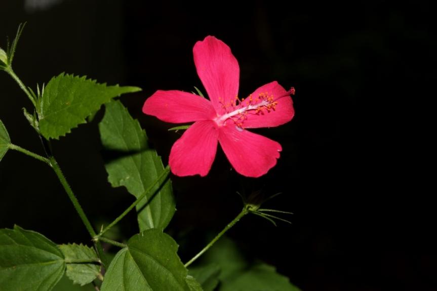 Malvaviscus penduliflorus [Moc. & Sesse] ex DC. - Malvaceae (Cultivada)