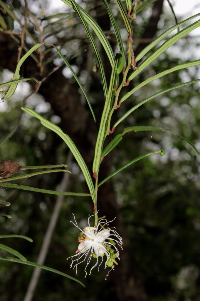 Cynophalla linearis (Jacq.) J.Presl - Capparaceae