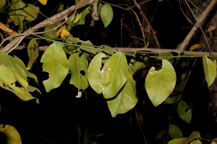 Schaefferia frutescens Jacq. - Celastraceae