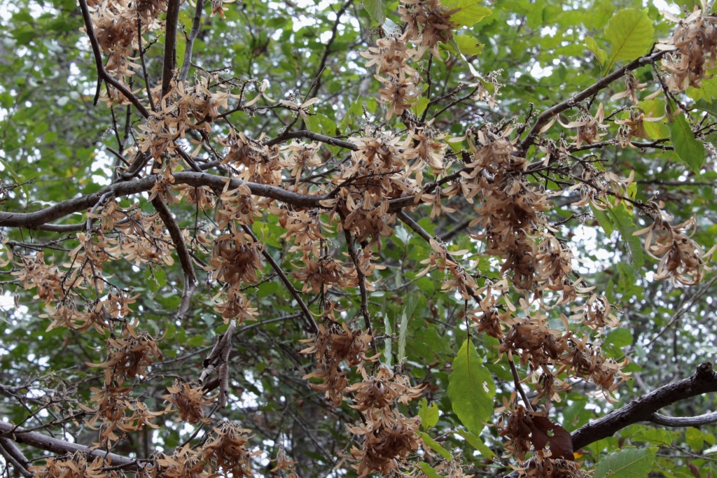 Ruprechtia ramiflora (Jacq.) C.A.Mey. - Polygonaceae