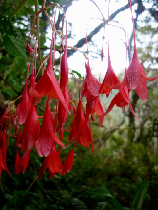 Begonia umbellata Kunth - Begoniaceae (Endémica)