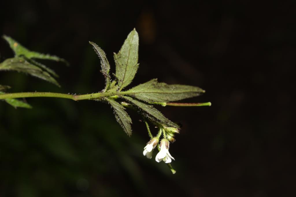Nasturtium officinale W.T.Aiton - Brassicaceae