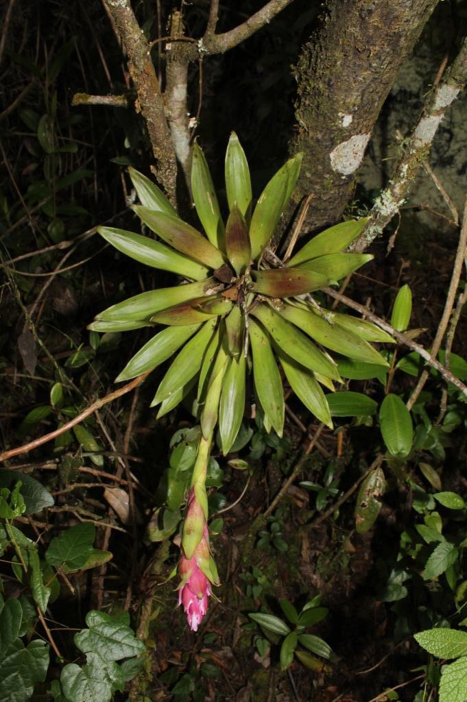 Tillandsia biflora Ruiz & Pav. - Bromeliaceae