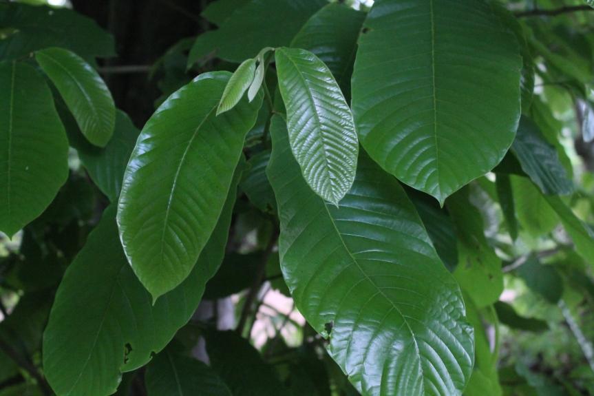 Annona purpurea Dunal –Annonaceae